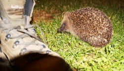 First wild hedgehog encounter!! Millie's distant cousin, Morty.